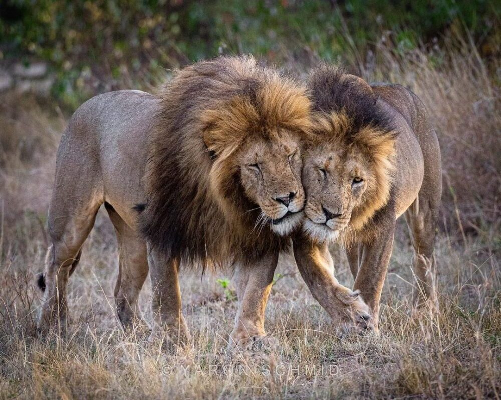 Wildlife Photography Lion by Yaron Schmid